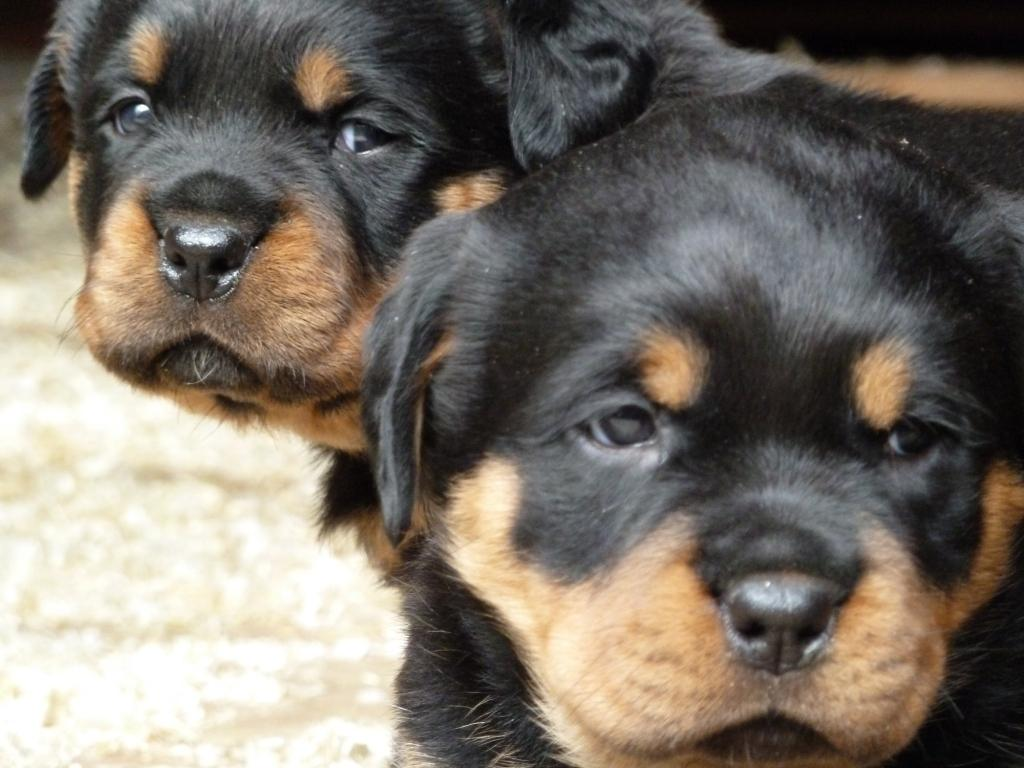 Pin Chiots Rottweiler Pedigree Annonce Maroc on Pinterest